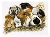 All Sorts of Guinea Pigs  1972