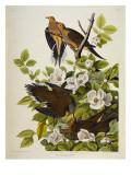 Carolina Turtledove Mourning Dove