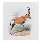 Antelope  from 'The Book of Antelopes'