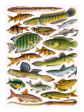 Freshwater Fishes of the Empire - India