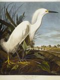 Snowy Heron or White Egret / Snowy Egret