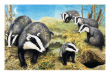 Badgers  from 'Nature Wonderland'  1970