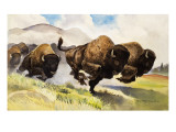 These Buffalo are Bison  1962