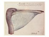 Pelican  C1590
