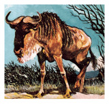 Gnu or Wilderbeast