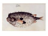 A Burrfish