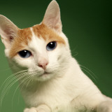Japanese Bobtail