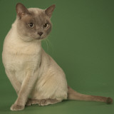 Tonkinese