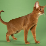 Abyssinian