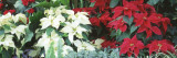 Close-Us of Red and White Poinsettias