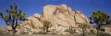 Low Angle View of Trees and Rocks in a Park  Joshua Tree National Monument  California  USA