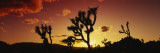 Silhouette of Joshua Trees at Sunset  Joshua Tree National Monument  California  USA