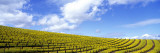 Mustard Fields  Napa Valley  California  USA