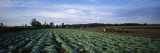 Tobacco Harvest  Edgerton  Wisconsin  USA