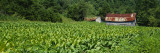 Barn in a Tobacco Field  Kentucky  USA