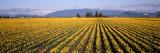 Daffodil Fields  Mount Vernon  Washington State  USA
