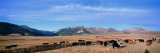 Herd of Cattle Grazing in a Field  Steamboat Mountain  Montana  USA