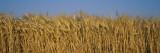 Field of Wheat  France