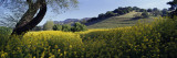 Mustard Flowers in a Field  Napa Valley  California  USA