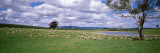 Sheep Grazing  New South Wales  United Kingdom  Australia