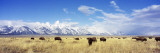 Bison Herd  Grand Teton National Park  Wyoming  USA