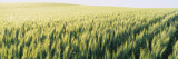 Field of Barley  Whitman County  Washington State  USA