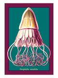Jellyfish: Periphylla Mirabilis