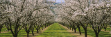 Almond Trees in an Orchard  California  USA