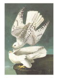 White Gyrfalcon