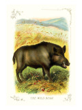 The Wild Boar
