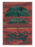Jellyfish: Pectanthis Asteroides