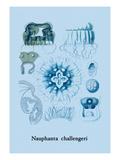 Jellyfish: Nauphanta Challengeri