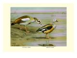 Egyptian and Orinoco Goose