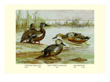 Three Types of Shoveller Ducks
