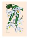 Orchid: Coelogyne Cristata
