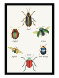 Beetles of Brazil  Britain  England and Saint Domingo