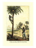 Man Ascending a Palm Tree for Its Wine