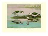 Green and Indian Pygmy Goose