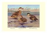 Bahama  Galapagos Island  and African Red-Billed Ducks