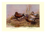 Cinnamon and Blue-Winged Teals