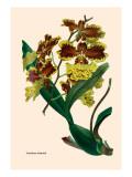 Orchid: Oncidium Mantinii