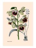 Orchid: Warrea Tricolor