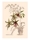 Orchid: Odontoglossum Hastilablum