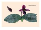 Orchid: Cypripedium Margaritaceum