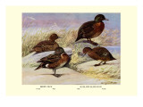 Brown and Auckland Ducks