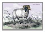 Black Faced Ram