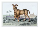 The Bearded Argali