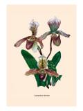Orchid: Cypripedium Hybrides