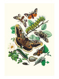 Moths: E Versicolora  S Pyri  S Carpini