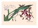 Orchid: Odontoglossum Tripudans